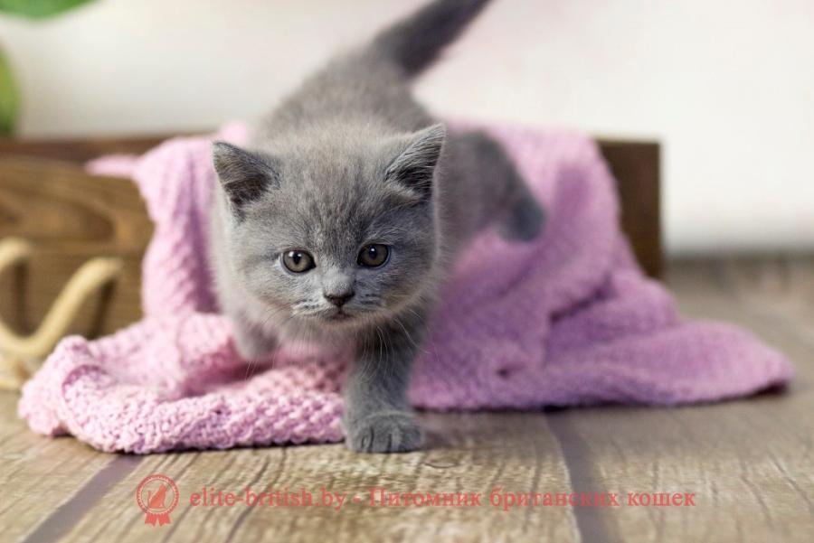 купить британского котенка, британец голубой фото, голубые британцы фото, британский кошки голубой, британская голубая кошка, британская голубая кошка фото, британской голубой кошки фото, кот британский голубой, коты британские голубые, голубые британские котята фото, британский голубой котенок фото, британский голубой кот фото, фото британского голубого кота