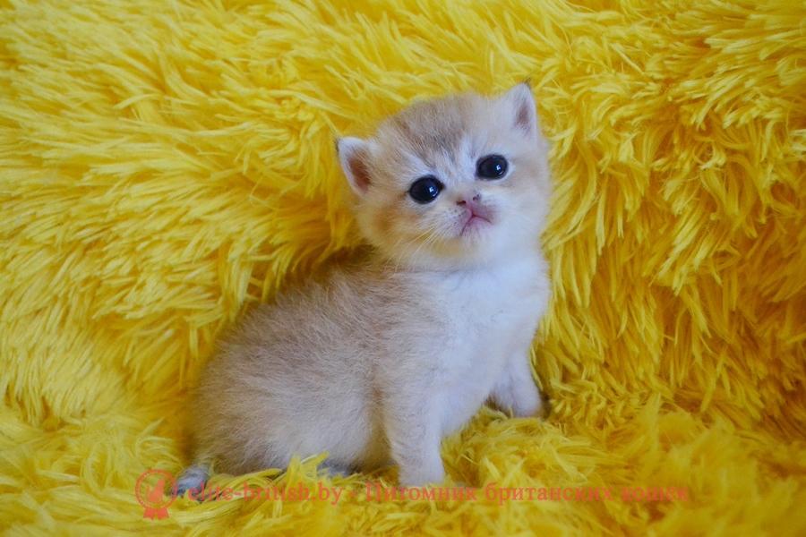 купить британского котенка, купить британца, британский котенок голубое золото, британец голубой золотой, купить британского котенка, купить британца, золотой британский кот, золотые британцы фото, золотой британец, британская кошка золотая шиншилла, британский кот шиншилла золотая, золотой тикированный британец, британец золотая шиншилла, британец золотистый, котята британские окрас золотая шиншилла, британская кошка золотая шиншилла фото, британец окрас золотая шиншилла фото, британский золотой котенок, британская золотая кошка, британские котята золотая шиншилла, британский золотистый кот, кот золотой британец, британцы окрас золотой, британцы окрас золотая шиншилла, котята британцы золотая шиншилла, золотистые британские котята, британские котята золотого окраса, британцы золотая шиншилла фото, золотой окрас британских кошек, британцы золотого окраса, британские котята золотого окраса, британец окрас золотая шиншилла, британские котята окраса золотая шиншилла, питомник британских кошек золотых окрасов, британец окрас золотая шиншилла фото, затушеванный британец, серебристый затушеванный британец, кошки британские серебристые, британская короткошерстная окраса серебро, золотой тикированный британец, британская кошка тикированная, тикированный британец