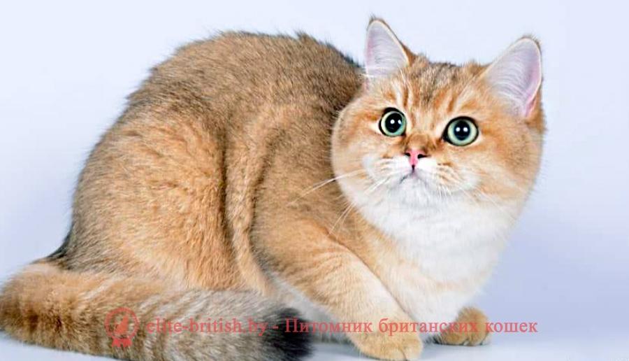 британский рыжий кот с зелеными глазами, британский кот с зелеными глазами, британская кошка с зелеными глазами, британская кошка рыжая с зелеными глазами, британская золотая кошка с зелеными глазами