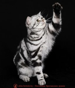 Британская кошка черного серебристого мраморного окраса Ch.Emili Roval Lace