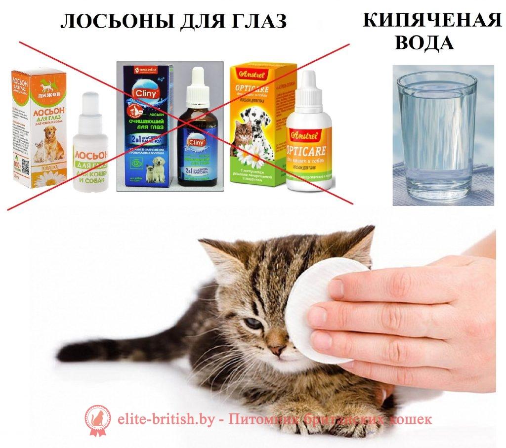 как ухаживать за британским котенком, уход за британскими котятами, уход за британскими кошками, как ухаживать за британской кошкой, как ухаживать за британским котом, уход за британским котом, британская вислоухая котенок питание и уход, уход за котенком британцем, как ухаживать за котенком британцем, британская кошка уход и содержание, котенок британец уход и кормление, британские котята уход и воспитание, как ухаживать за британским вислоухим котенком, британский котенок уход и питание, британский котенок как ухаживать чем кормить, как ухаживать за британским котенком 1 месяц, британский кот уход и содержание, уход за британскими вислоухими котятами, уход за британскими котятами 2 месяца, как ухаживать за британским котенком 2 месяца, как ухаживать за котятами британской породы, британская кошка питание и уход, уход за котятами британской породы, уход за кошкой британской породы, коты британцы уход, британский вислоухий котенок уход и кормление, британские коты уход и кормление, уход за британским котенком 1 месяц, уход за шерстью британской кошки, как ухаживать за котенком британцем 1 месяц, как ухаживать за шерстью британского кота, уход за британскими котятами 3 месяца, британский котенок как ухаживать чем кормить советы, как ухаживать за кошкой британской породы, как правильно ухаживать за британским котенком, как ухаживать за котами британской породы, как правильно ухаживать за британской кошкой, британская вислоухая кошка уход и содержание, британские кошки описание породы уход и питание, котенок британец вислоухий уход питание содержание, как ухаживать за глазами котенка британца, британский котенок уход и питание 1 месяц, как ухаживать за шерстью британских кошек, уход за британской короткошерстной кошкой, британские котята характер и уход, британская кошка чем кормить и как ухаживать, британская кошка уход и содержание в квартире, особенности ухода за британскими кошками, кот британец описание породы уход, британская кошка вислоухая уход, уход за котами 