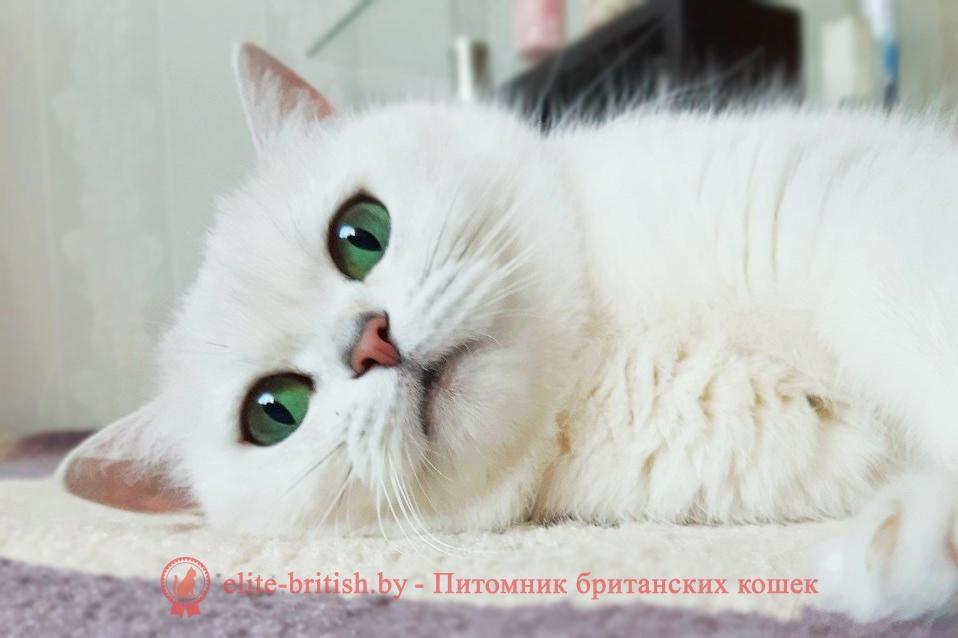 британская кошка с зелеными глазами, шиншилла с зелеными глазами,