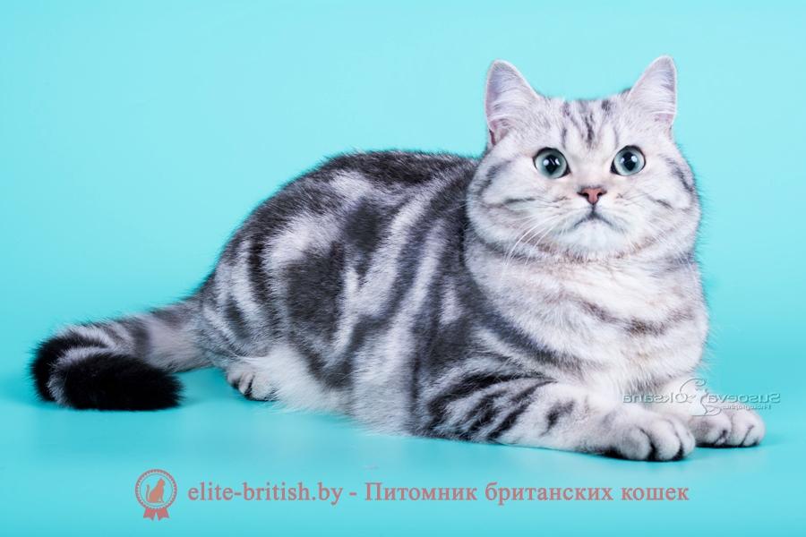 Британская кошка мраморная с зелеными глазами