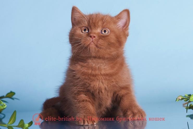 купить британского котенка, купить британца, британский короткошерстный котенок цвета корицы, британские котята цвета корицы, британский короткошерстный котенок цвета корицы, британские котята цвета корицы, циннамон британец, британские кошки циннамон, британский кот циннамон, британские котята циннамон, британцы окраса циннамон, циннамон британец фото