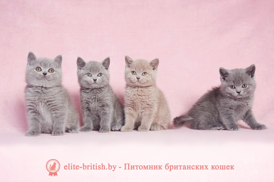 цвет глаз у британских кошек, какого цвета глаза у британских кошек, глаза у британских кошек цвет глаз у британских кошек, какие глаза у британских кошек