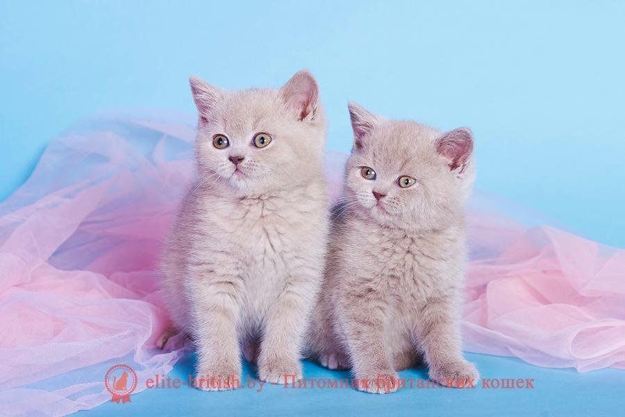 британские кошки с желтыми глазами, британский серый кот с желтыми глазами, кот серый британец вислоухий оранжевые глаза, британские котята лилового окраса с оранжевыми глазами, кот британский черный с желтыми глазами, белый британский кот с желтыми глазами