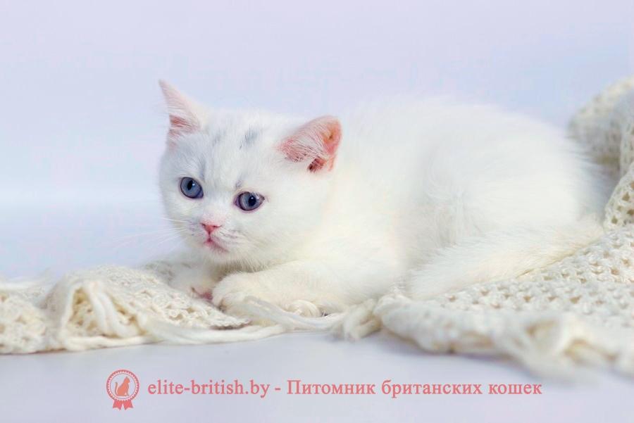 британская кошка с голубыми глазами, британская кошка белая с голубыми глазами, британская шиншилла кошка цена с голубыми глазами, британский кот с голубыми глазами, британская кошка с голубыми глазами фото, голубоглазый британский кот, британская кошка вислоухая фото с голубыми глазами, британские котята с голубыми глазами, голубоглазый британец кот, британская голубоглазая кошка, британская короткошерстная кошка белая с голубыми глазами, белая британская кошка с голубыми глазами цена, британская кошка фото голубая синеглазая, имя котенку мальчику британцу с голубыми глазами, британский котенок белый с голубыми глазами, британский котенок с голубыми глазами купить, британская короткошерстная кошка с голубыми глазами