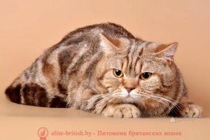 Британский кот Райдон шоколадный мрамор