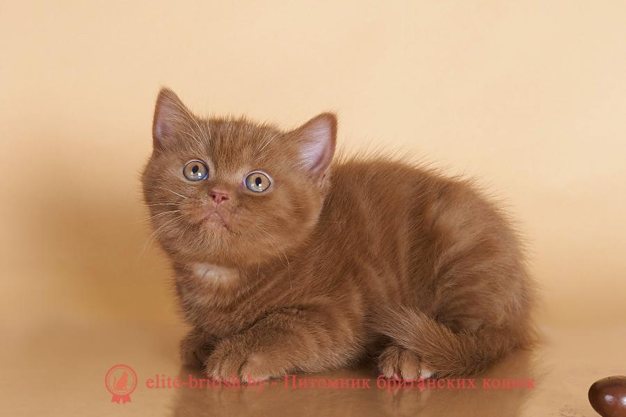 британский короткошерстный котенок цвета корицы, британские котята цвета корицы, британский короткошерстный котенок цвета корицы, британские котята цвета корицы, , британская шиншилла кошка цена, британская кошка цена, британские котята цена, британский кот цена, британская короткошерстная кошка цена, кот британец цена, британская вислоухая кошка цена, британский вислоухий кот цена, котенок британец цена, британская вислоухая кошка фото цена, британский вислоухий котенок цена, сколько стоит британский котенок, сколько стоит британская кошка, сколько стоит британский кот, сколько стоит котенок британец, сколько стоит британский вислоухий котенок, сколько стоит кот британец, сколько стоит котенок британской породы, сколько стоит британская короткошерстная кошка, сколько стоит британская вислоухая кошка, сколько стоит котенок британец вислоухий, сколько стоит британский вислоухий кот, сколько стоит кошка британской породы, сколько стоит котенок британской кошки, сколько стоит британская кошка в рублях, сколько стоит британский котенок цена, сколько стоит британский котенок цена в рублях, сколько стоит британская шиншилла кошка, сколько стоит котенок британской шиншиллы, сколько стоит британский котенок с документами, сколько стоит кот британской породы, сколько стоит британский кот цена, циннамон британец, британские кошки циннамон, британский кот циннамон, британские котята циннамон, британцы окраса циннамон, циннамон британец фото