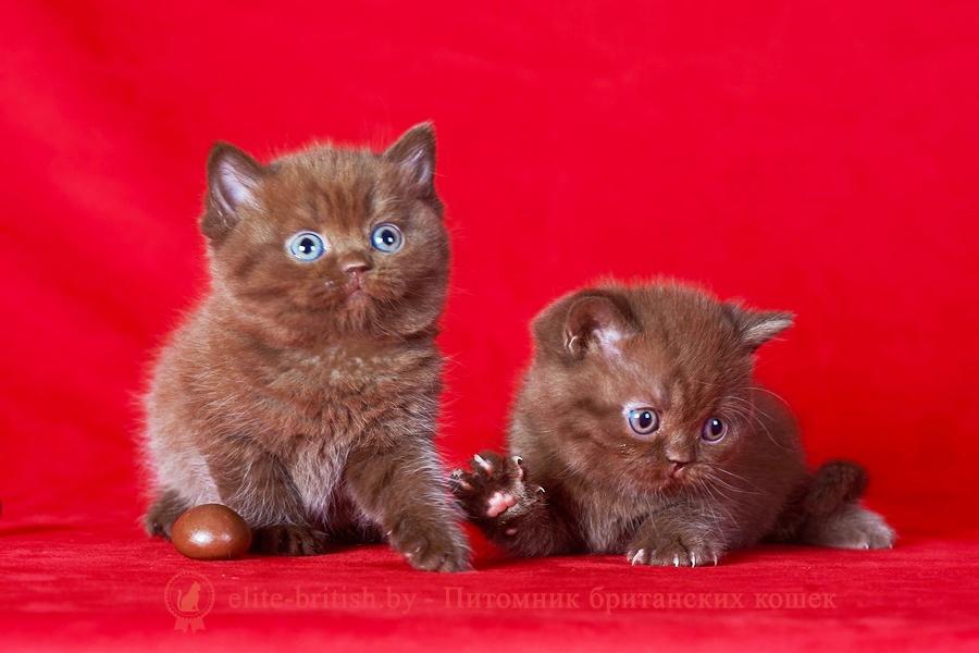 купить британского котенка в минске, купить в минске котенка британца, купить британского котенка, британские котята в гомеле купить, купить британского котенка в могилеве, купить британского котенка в витебске, купить британского котенка в бресте, купить кота британца в минске, купить британского котенка в гродно, купить британца в барановичах, купить британского котенка в бобруйске, купить британца в минске, британец купить, купить вислоухого британца, британский кот купить в минске, купить британского котенка в беларуси, купить британского котенка в барановичах, купить британского котенка в пинске, купить котенка британца, купить котенка британца в могилеве, британская кошка купить в минске, купить британского котенка в мозыре, британец вислоухий купить в минске, купить британского котенка в молодечно, купить британского котенка в полоцке, купить котенка британца в витебске, купить британца в минске недорого, купить британца в могилеве, купить британца в бресте, купить британского котенка в жлобине, купить кота британца, купить британского плюшевого котенка, купить британского котенка в новополоцке, купить кота британца в гомеле, купить котенка британца в гомеле, купить британского кота, купить британского котенка в орше, купить британца в витебске, вислоухий британец купить в гомеле, купить кота британца в бресте, купить британского короткошерстного котенка, купить британские котята шиншиллы, купить британца в гомеле, купить кота британца в могилеве, британский вислоухий котенок купить, купить британца в москве, британские кошки купить, британский вислоухий кот купить, купить котенка британца недорого, купить британскую короткошерстную кошку, британская вислоухая кошка купить, британские котята купить из питомника, британские котята серебристая шиншилла купить, купить короткошерстного британца, купить британца в смоленске, британская длинношерстная кошка купить, британские котята фото купить, купить котенка британской породы, купить британского котенка дешево, к
