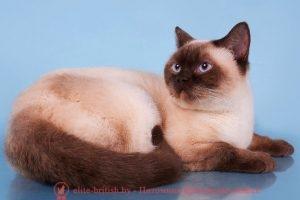 Британская кошка шоколадный пойнт