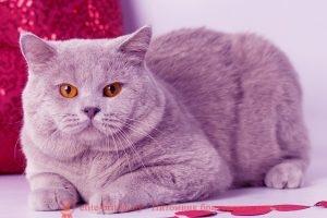Британский кот лилового окраса Niagara Gold Maybach Many(Майбах)