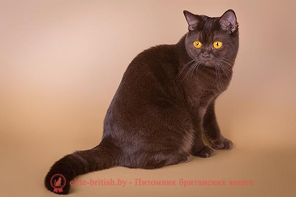 британская шоколадная, шоколадные британские котята, британская шоколадная кошка, питомник британских шоколадных кошек, шоколадный британский кот, британские кошки шоколаднго окраса, британские шоколадные котята купить, британские котята шоколадного окраса, питомник британских кошек шоколадного окраса, шоколадные британские котята цена, шоколадные британские котята фото, продажа британских шоколадных котят, британская короткошерстная кошка шоколадная пятнистая, британская пятнистая, британские пятнистые котята, британская шоколадная фото, шоколадные британцы фото, британские кошки шоколадного окраса фото, британские шоколадные котята фото, британские кошки шоколадный окрас, шоколадный британец, британская шоколадная кошка фото, британский шоколадный кот фото, купить британского котенка шоколадного окраса, котенок британец шоколадный, шоколадные британцы котята фото, шоколадная британская кошка, шоколадный британский кот, британские коты шоколадного окраса, британские коты шоколадного окраса фото, британские котята шоколадного окраса фото, британец кот шоколадный, шоколадный британский котенок, британский котенок шоколадного окраса, шоколадные британские котята купить, британский вислоухий шоколадный котенок, купить шоколадного котенка британца, кошки британцы шоколадные, шоколадные британцы купить, британцы окрас шоколадный, британец шоколадного цвета