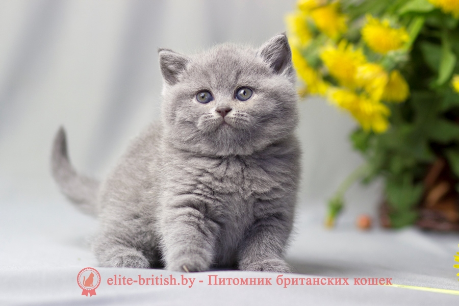 питомник британских кошек, питомник британских кошек в москве, питомник британских кошек в санкт петербурге, питомник британских котят, питомник британских кошек мурлыкин казань, купить британского котенка в москве в питомнике, купить британца котенка в москве в питомнике, британские котята продажа из питомника в москве, райлис питомник британских кошек, питомник британских кошек ярославль, галакси питомник британских кошек, питомник британских кошек москва и московская область, питомник британских кошек спб, питомник британских кошек самара, питомник британских кошек трики ник, питомники британских кошек в екатеринбурге, венец славы питомник британских кошек, питомник британских кошек нижний новгород, британские котята питомник москва, мистериус питомник британских кошек, питомники британских короткошерстных кошек в москве, питомник британских кошек в москве с ценами, питомник британских кошек тула, питомник британских кошек в москве золотая шиншилла, питомник британских кошек саратов, британские коты питомник, питомник британских кошек новосибирск, silvery snow питомник британских кошек, сеймур питомник британских кошек, питомник британских кошек элит бритиш в минске, британская короткошерстная питомник, британские котята купить в спб питомник, британские кошки черепаховый питомник, питомник британских кошек princely gift, британская короткошерстная кошка питомник, питомник британских кошек шиншилл, питомник британских длинношерстных кошек, sunray питомник британских кошек, лучший питомник британских кошек в москве, питомники британских кошек в уфе, питомник британских кошек мраморных, питомник британских кошек волгоград, питомник британских котят в минске крем белл, питомник британских кошек в минске, британские котята купить в екатеринбурге питомник, питомник британских кошек кострома, питомник британских кошек казань, британский котенок питомник спб, хорошие питомники британских кошек, питомник британских кошек поинт, питомник британских кошек пенза, питомник б