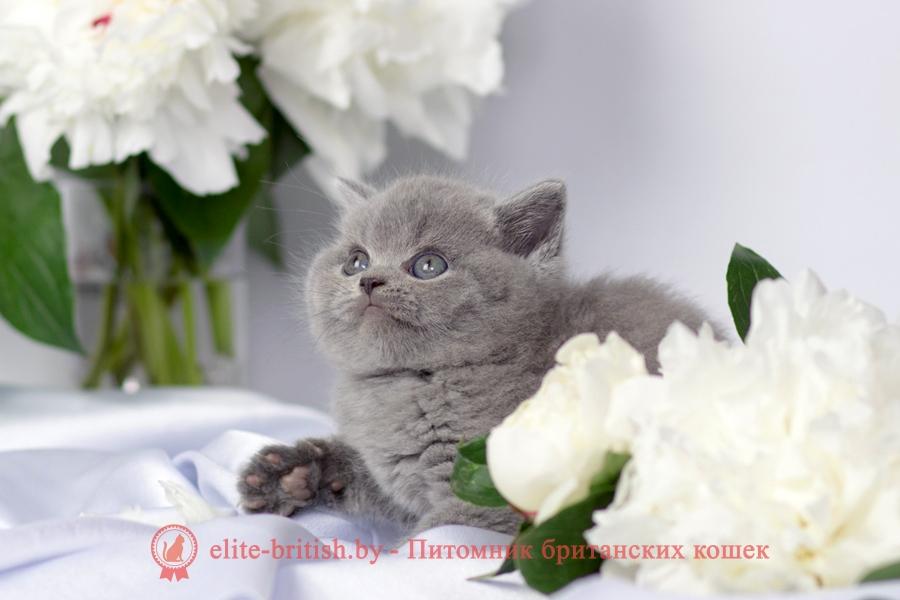 британец голубой фото, голубые британцы фото, британский кошки голубой, британская голубая кошка, британская голубая кошка фото, британской голубой кошки фото, кот британский голубой, коты британские голубые, голубые британские котята фото, британский голубой котенок фото, британский голубой кот фото, фото британского голубого кота, окрас британских котят голубой фото, британские котята голубого окраса фото, британцы коты фото голубые