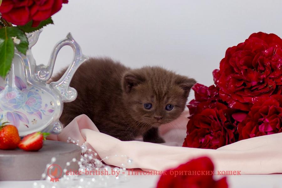 шоколадные британцы фото, британские кошки шоколадного окраса фото, британские шоколадные котята фото, шоколадный британец, британские кошки шоколадный окрас, котенок британец шоколадный, британская шоколадная кошка фото, британский шоколадный кот фото, шоколадные британцы котята фото, шоколадная британская кошка, шоколадный британский кот, британец кот шоколадный, британские коты шоколадного окраса, британские коты шоколадного окраса фото, британские котята шоколадного окраса фото, шоколадный британский котенок, кошки британцы шоколадные, британец шоколадного цвета, британский котенок шоколадного окраса, британцы окрас шоколадный, британская кошка шоколадного окраса фото, британские котята шоколадного окраса фото, британский кот шоколадного окраса фото, британцы шоколадного окраса фото, британцы коричневого цвета, кошки британские коричневые, британские коричневые котята фото, британский кот коричневый, коричневый британец, коричневые британские котята, кот британец коричневый, британские кошки коричневого окраса