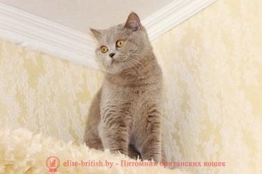 лиловый британец,  британец лиловый фото, фото лиловых британцев, британский лиловый котенок,  британские коты лилового окраса фото, фото лиловых британских котят,  британские котята фото лиловые, британская кошка фото лиловая, фото лиловой британской кошки, британские котята лилового окраса фото, лиловая британская кошка, британский лиловый кот фото, британские котята лилового окраса, лиловый окрас британских кошек фото, лиловый британский кот, кот британец лиловый фото, лиловый окрас британских кошек, британцы лилового окраса, британец лилового цвета, британец лилового окраса фото, лиловые британцы вислоухие фото, британская короткошерстная кошка лиловая, лиловый цвет британских кошек, британская лиловая кошка характер, британские котята лилового цвета, британские вислоухие котята фото лиловые, котята британцы лиловые фото, британский кот лилового окраса, британский вислоухий кот лиловый, британские котята лиловые купить, британские лиловые котята цена, купить лилового британца, лиловые британцы котята, британцы коты лиловые, британцы лилак поинт, британцы вислоухие лиловые