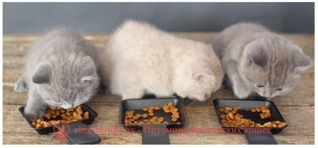 что любят британские кошки, что любят британцы, можно ли британцам рыбу, можно ли рыбу британским кошкам, сколько раз кормить британского котенка, можно ли британскому котенку молоко, британские котята уход кормление, британские коты уход и кормление, котята британцы уход и кормление, британские кошки уход кормление, британские кошки питание и уход, меню британского котенка, меню для британской кошки, меню британского кота, меню британцев, рацион питания британского котенка, рацион британского котенка, рацион британских котов, рацион британской кошки, кормление британских котят 3 месяца, кормление британских котят 2 месяца, британские котята кормление, кормление котят британцев, британская кошка кормление, кормление британца, кормление кота британца, кормление британских котов, британцы уход кормление, что едят британские котята, что едят британские кошки, что едят британцы, что едят британские коты, еда британцев, британские кошки еда, британские котята еда, как кормить британского кота, как кормить британца, как правильно кормить британца кота, как правильно кормить британскую кошку, как правильно кормить британского кота, как правильно кормить британцев, как правильно кормить британского котенка, каким кормом кормить британскую кошку, прикорм котят британцев, когда начинать прикорм котят британцев, что можно давать британским котятам, чем кормить британского котенка, чем кормить британскую кошку, чем кормить британца котенка, чем кормить кота британской породы, чем кормить кота британца, чем кормить британскую короткошерстную кошку, чем лучше кормить британского кота, чем лучше кормить британских кошек, чем лучше кормить британских котят, чем лучше кормить британцев, чем можно кормить британского кота, чем можно кормить британских котят, кормление британских котов кастрированных, чем кормить кастрированного британца, чем кормить британских котов кастрированных, чем кормить стерилизованную британскую кошку, чем кормить беременную британскую кошку, чем кормить мале