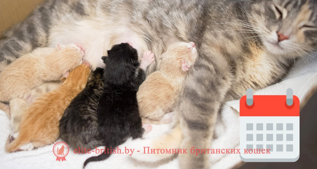 калькулятор беременности кошек британских, калькулятор родов кошки британской, калькулятор британской кошки, календарь беременности у британских кошек, календарь прививок для кошек британцев, прививки коту британцу календарь, календарь прививок для котят британцев
