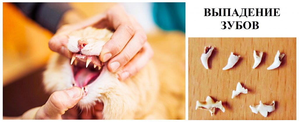 у кошки выпадают зубы, выпадают зубы у котенка, у кота выпал зуб, у кошки выпал молочный зуб, у кошек выпадают молочные зубы, выпадают ли зубы у кошек, у котят выпадают молочные зубы, выпадают ли зубы у котят, у котов выпадают молочные зубы, выпадают ли у котов зубы, выпадение зубов у кошек почему у кота выпадают зубы, почему у кошки выпадают зубы, выпадение зубов у котят, почему у котенка выпадают зубы, выпадение зубов у котов, выпали передние зубы у кошки, у кота выпали передние зубы