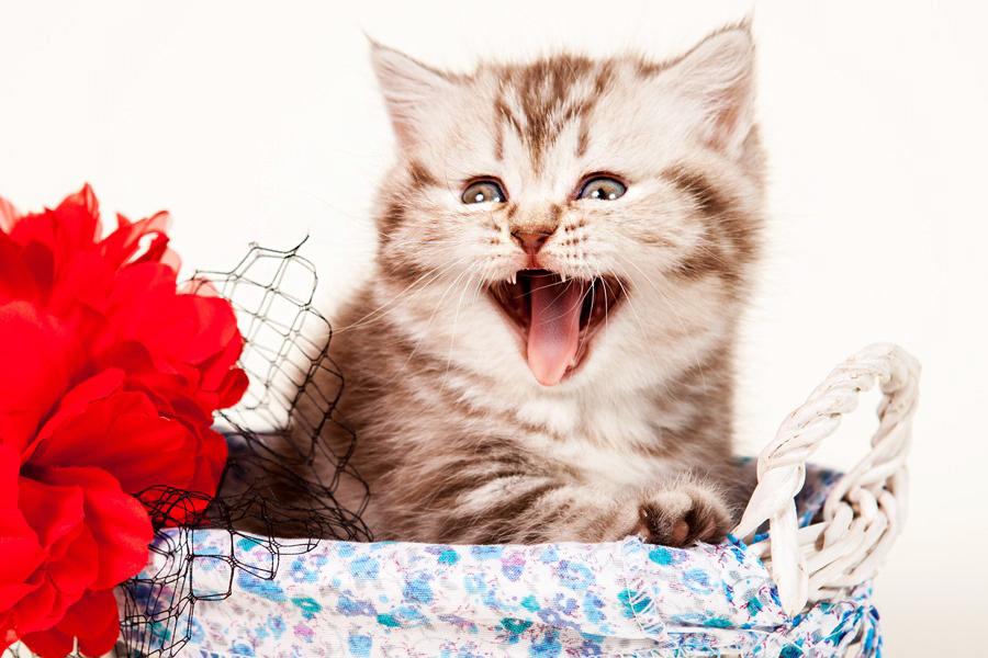 возраст котенка по зубам, определить возраст котенка по зубам, определить возраст кошки по зубам, возраст кошки по зубам фото, возраст кошки по зубам, возраст кота по зубам, определить возраст кота по зубам