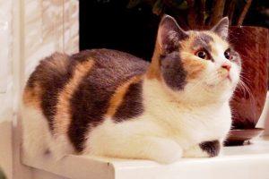Британская кошка триколор