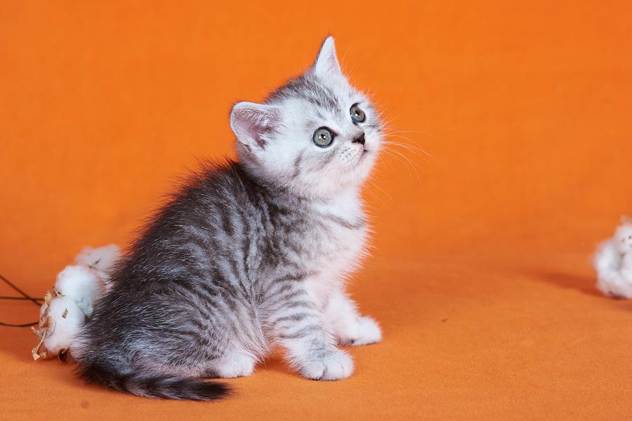 купить британского котенка, купить британца, британские кошки дымчатые, дымчатые британцы, британский дымчатый кот, британская кошка дымчатого окраса, британец дымчатый фото, тигровая британская кошка, британец тигровый, британец табби тигровый, тигровый британский котенок, британский котенок тигрового окраса, британская тигровая кошка фото, тигровые британские котята фото, британцы окраса вискас, британцы вискас фото, котенок британец вискас, британец вискасного окраса, британская кошка вискас, окрас вискас британских кошек, британская кошка фото вискас, британская кошка окрас вискас фото, британский кот серебристый, серебристый британец фото, серебристые британцы, британские серебристые котята, тикированный британец, серебристый тикированный британец, кошки британские серебристые, британская короткошерстная окраса серебро
