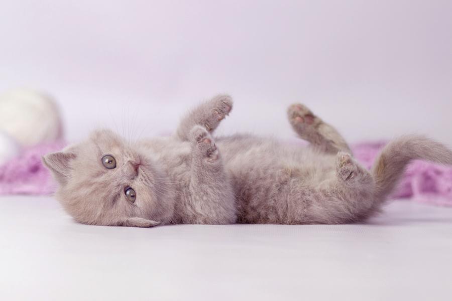 купить британского котенка, купить британца, лиловый британец,  британец лиловый фото, фото лиловых британцев, британский лиловый котенок,  британские коты лилового окраса фото, фото лиловых британских котят,  британские котята фото лиловые, британская кошка фото лиловая, фото лиловой британской кошки, британские котята лилового окраса фото, лиловая британская кошка, британский лиловый кот фото, британские котята лилового окраса, лиловый окрас британских кошек фото, лиловый британский кот, кот британец лиловый фото, лиловый окрас британских кошек, британцы лилового окраса, британец лилового цвета, британец лилового окраса фото, лиловые британцы вислоухие фото, британская короткошерстная кошка лиловая, лиловый цвет британских кошек, британская лиловая кошка характер, британские котята лилового цвета, британские вислоухие котята фото лиловые, котята британцы лиловые фото, британский кот лилового окраса, британский вислоухий кот лиловый, британские котята лиловые купить, британские лиловые котята цена, купить лилового британца, лиловые британцы котята, британцы коты лиловые, британцы лилак поинт, британцы вислоухие лиловые