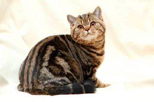 Британская кошка черного мраморного окраса