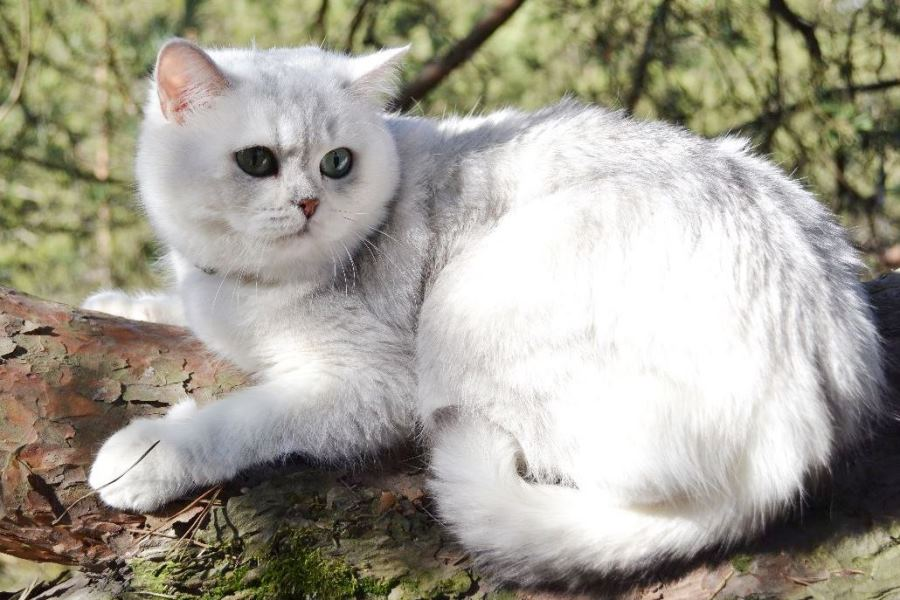 СЕРЕБРО шиншилла<br />британский кот серебристый, серебристый британец фото, серебристые британцы, британские серебристые котята, затушеванный британец, серебристый затушеванный британец, кошки британские серебристые, британская короткошерстная окраса серебро, британцы серебристая шиншилла, котята британские серебристые шиншиллы, британский кот серебристая шиншилла, британские кошки серебристая шиншилла, британская окрас серебристая шиншилла, затушеванный британец, серебристый затушеванный британец, кошки британские серебристые, британская короткошерстная окраса серебро, британская кошка тикированная, тикированный британец<br />