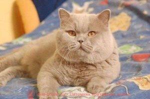 Британский кот лилового окраса