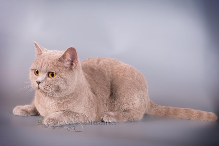 СЕРЕБРО шиншилла<br /> британский кот серебристый, серебристый британец фото, серебристые британцы, британские серебристые котята, затушеванный британец, серебристый затушеванный британец, кошки британские серебристые, британская короткошерстная окраса серебро, британцы серебристая шиншилла, котята британские серебристые шиншиллы, британский кот серебристая шиншилла, британские кошки серебристая шиншилла, британская окрас серебристая шиншилла, затушеванный британец, серебристый затушеванный британец, кошки британские серебристые, британская короткошерстная окраса серебро, британская кошка тикированная, тикированный британец<br />