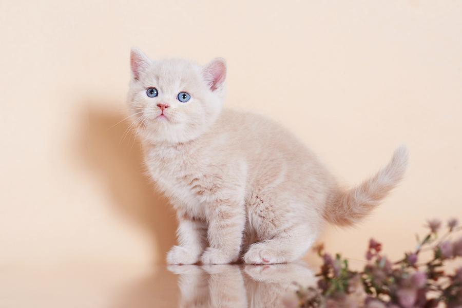 бежевые британцы, бежевый британец фото, кошки британские бежевые, бежевые британские коты, британские котята кремовые фото, британские кремовые коты фото, кремовый британец фото, британские котята кремового окраса фото, британец персикового цвета фото