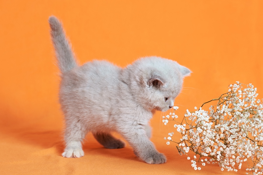 лиловый британец, британец лиловый фото, фото лиловых британцев, британский лиловый котенок, британские коты лилового окраса фото, фото лиловых британских котят, британские котята фото лиловые, британская кошка фото лиловая, фото лиловой британской кошки, британские котята лилового окраса фото, лиловая британская кошка, британский лиловый кот фото, британские котята лилового окраса, лиловый окрас британских кошек фото, лиловый британский кот, кот британец лиловый фото, лиловый окрас британских кошек, британцы лилового окраса, британец лилового цвета, британец лилового окраса фото, лиловые британцы вислоухие фото, британская короткошерстная кошка лиловая, лиловый цвет британских кошек, британская лиловая кошка характер, британские котята лилового цвета, британские вислоухие котята фото лиловые, котята британцы лиловые фото, британский кот лилового окраса, британский вислоухий кот лиловый, британские котята лиловые купить, британские лиловые котята цена, купить лилового британца, лиловые британцы котята, британцы коты лиловые, британские котята черепахового окраса фото, черепаховый окрас британской кошки фото, черепаховый британец, британская черепаховая кошка фото, британцы черепахового окраса фото, кошки британские черепахового окраса, черепаховый британский кот, британские коты черепахового окраса, британская черепаховая кошка