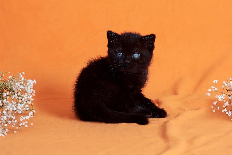 британец черный фото, черные британцы фото, черный британский кот фото, черные британские коты фото, черная британская кошка, черная британская кошка фото, черный британский кот, черные британские коты, британский черный котенок, черные британские котята, кот британец черный фото, черные коты британцы фото, черный британец, британцы черные, британские котята черного окраса, черный британец котенок, котята британцы черные, фото черного британского котенка, черные британские котята фото, британцы коты черные, черный британец кот, британец черный мрамор на серебре, британские коты черного окраса фото, британец черного цвета, черная кошка британец, кот британец черно белый, британец черного цвета, британские кошки окрас черный, британцы черный окрас, британские кошки