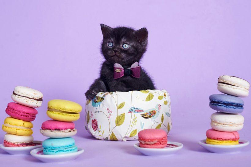 купить британского котенка, купить британца, британец черный фото, черные британцы фото, черный британский кот фото, черные британские коты фото, черная британская кошка, черная британская кошка фото, черный британский кот, черные британские коты, британский черный котенок, черные британские котята, кот британец черный фото, черные коты британцы фото, черный британец, британцы черные, британские котята черного окраса, черный британец котенок, котята британцы черные, фото черного британского котенка, черные британские котята фото, британцы коты черные, черный британец кот, британец черный мрамор на серебре, британские коты черного окраса фото, британец черного цвета, черная кошка британец, кот британец черно белый, британец черного цвета, британские кошки окрас черный, британцы черный окрас, британские кошки дымчатые, дымчатые британцы, британский дымчатый кот, британская кошка дымчатого окраса,