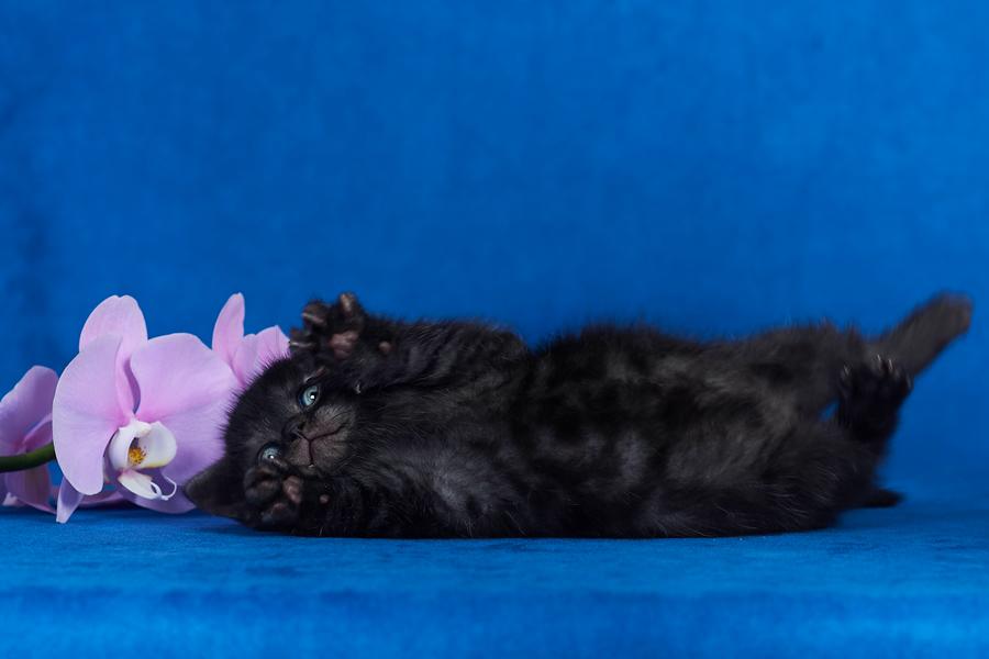 британец черный фото, черные британцы фото, черный британский кот фото, черные британские коты фото, черная британская кошка, черная британская кошка фото, черный британский кот, черные британские коты, британский черный котенок, черные британские котята, кот британец черный фото, черные коты британцы фото, черный британец, британцы черные, британские котята черного окраса, черный британец котенок, котята британцы черные, фото черного британского котенка, черные британские котята фото, британцы коты черные, черный британец кот, британец черный мрамор на серебре, британские коты черного окраса фото, британец черного цвета, черная кошка британец, кот британец черно белый, британец черного цвета, британские кошки окрас черный, британцы черный окрас, британские кошки дымчатые, дымчатые британцы, британский дымчатый кот, британская кошка дымчатого окраса