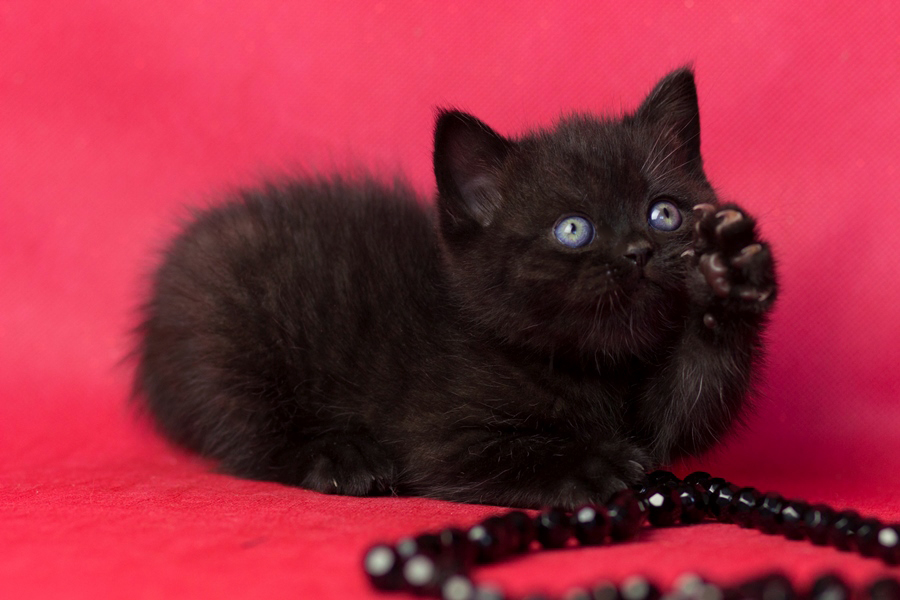 купить британского котенка, купить британца, британец черный фото, черные британцы фото, черный британский кот фото, черные британские коты фото, черная британская кошка, черная британская кошка фото, черный британский кот, черные британские коты, британский черный котенок, черные британские котята, кот британец черный фото, черные коты британцы фото, черный британец, британцы черные, британские котята черного окраса, черный британец котенок, котята британцы черные, фото черного британского котенка, черные британские котята фото, британцы коты черные, черный британец кот, британец черный мрамор на серебре, британские коты черного окраса фото, британец черного цвета, черная кошка британец, кот британец черно белый, британец черного цвета, британские кошки окрас черный, британцы черный окрас, британские кошки