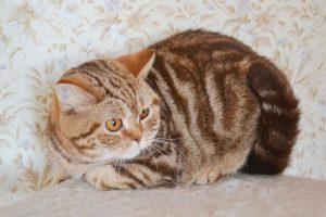 Британская кошка шоколадный мрамор