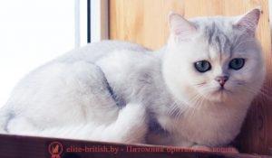Британский кот серебристая шиншилла