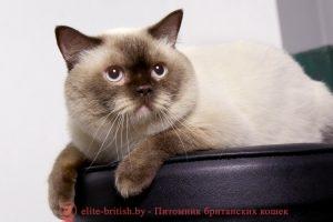 Вязка британского кота шоколадного пойнт CASANOVA
