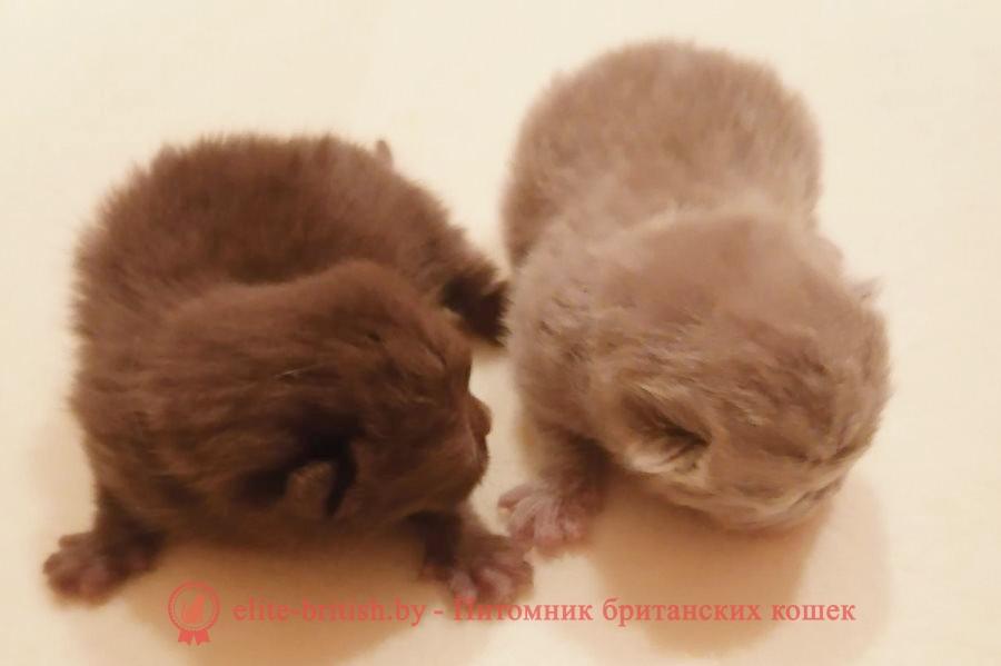 лиловый британец, британец лиловый фото, фото лиловых британцев, британский лиловый котенок, британские коты лилового окраса фото, фото лиловых британских котят, британские котята фото лиловые, британская кошка фото лиловая, фото лиловой британской кошки, британские котята лилового окраса фото, лиловая британская кошка, британский лиловый кот фото, британские котята лилового окраса, лиловый окрас британских кошек фото, лиловый британский кот, кот британец лиловый фото, лиловый окрас британских кошек, британцы лилового окраса, британец лилового цвета, британец лилового окраса фото, лиловые британцы вислоухие фото, британская короткошерстная кошка лиловая, лиловый цвет британских кошек, британская лиловая кошка характер, британские котята лилового цвета, британские вислоухие котята фото лиловые, котята британцы лиловые фото, британский кот лилового окраса, британский вислоухий кот лиловый, британские котята лиловые купить, британские лиловые котята цена, купить лилового британца, лиловые британцы котята, британцы коты лиловые, шоколадные британцы фото, британские кошки шоколадного окраса фото, британские шоколадные котята фото, шоколадный британец, британские кошки шоколадный окрас, котенок британец шоколадный, британская шоколадная кошка фото, британский шоколадный кот фото, шоколадные британцы котята фото, шоколадная британская кошка, шоколадный британский кот, британец кот шоколадный, британские коты шоколадного окраса, британские коты шоколадного окраса фото, британские котята шоколадного окраса фото, шоколадный британский котенок, кошки британцы шоколадные, британец шоколадного цвета, британский котенок шоколадного окраса, британцы окрас шоколадный, британская кошка шоколадного окраса фото, британские котята шоколадного окраса фото, британский кот шоколадного окраса фото, британцы шоколадного окраса фото, британцы коричневого цвета, кошки британские коричневые, британские коричневые котята фото, британский кот коричневый, коричневый британец, коричневые британски