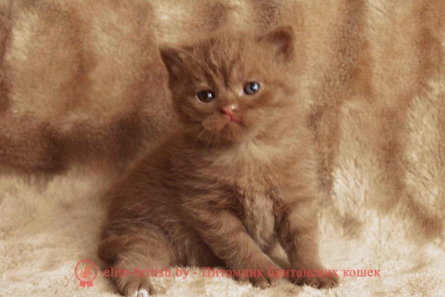 британский короткошерстный котенок цвета корицы, британские котята цвета корицы, циннамон британец, британские кошки циннамон, британский кот циннамон, британские котята циннамон, британцы окраса циннамон, циннамон британец фото