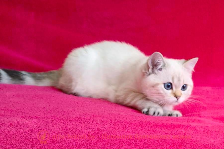 британский кот блю поинт, британец колор поинт, британская кошка поинт колор, ританский кот поинт, британские котята поинт, британские котята блю поинт, ританские котята колор поинт, блю поинт британец, британцы лилак поинт, британец поинт, британские котята сил поинт, британские кошки блю поинт, британские котята окраса блю поинт, британец блю поинт фото, британец колор поинт фото, британская кошка колор поинт фото, блю пойнт британские кошки, британские кошки колор пойнт, блю пойнт британские котята, блю пойнт британцы, колор пойнт британец, кот британский колор пойнт, британские котята колор пойнт, британский кот серебристый, серебристый британец фото, серебристые британцы, британские серебристые котята, затушеванный британец, серебристый затушеванный британец, кошки британские серебристые, британская короткошерстная окраса серебро, британцы серебристая шиншилла, котята британские серебристые шиншиллы, британский кот серебристая шиншилла, британские кошки серебристая шиншилла, британская окрас серебристая шиншилла, затушеванный британец, серебристый затушеванный британец, кошки британские серебристые, британская короткошерстная окраса серебро, британская кошка тикированная, тикированный британец