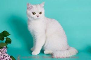 Британскиая кошка серебристая шиншилла