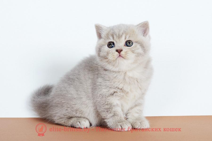 купить британского котенка, купить британца, британская кошка фавн, британский кот фавн, британцы фавн, окрас фавн британских кошек, британская кошка фавн, британский кот фавн, британцы фавн, окрас фавн британских кошек, лиловый британец, британец лиловый фото, фото лиловых британцев, британский лиловый котенок, британские коты лилового окраса фото, фото лиловых британских котят, британские котята фото лиловые, британская кошка фото лиловая, фото лиловой британской кошки, британские котята лилового окраса фото, лиловая британская кошка, британский лиловый кот фото, британские котята лилового окраса, лиловый окрас британских кошек фото, лиловый британский кот, кот британец лиловый фото, лиловый окрас британских кошек, британцы лилового окраса, британец лилового цвета, британец лилового окраса фото, лиловые британцы вислоухие фото, британская короткошерстная кошка лиловая, лиловый цвет британских кошек, британская лиловая кошка характер, британские котята лилового цвета, британские вислоухие котята фото лиловые, котята британцы лиловые фото, британский кот лилового окраса, британский вислоухий кот лиловый, британские котята лиловые купить, британские лиловые котята цена, купить лилового британца, лиловые британцы котята, британцы коты лиловые, британцы лилак поинт, британцы вислоухие лиловые, британский мраморный кот, британская мраморная кошка фото, британская мраморная кошка, мраморный британец котенок, мраморный британец кот, британские мраморные котята, британец кот фото мраморный, мраморный британец котенок фото, британский мраморный кот фото, британская кошка мраморный окрас, британский кот мраморного окраса, британские мраморные котята купить, британская вислоухая кошка фото мраморная, британские мраморные котята фото, британская кошка мраморный окрас фото, британская кошка серебристая мраморная, британские котята мраморного окраса, мраморные кошки британцы, питомник британских кошек мраморных, британский вислоухий мраморный кот, британские коты мраморный окрас