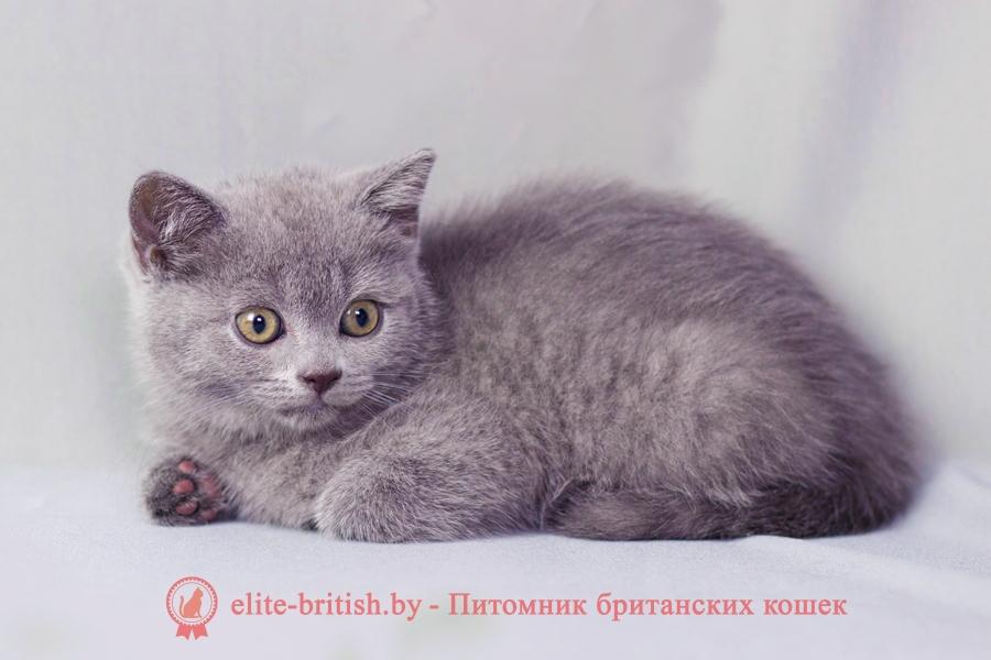 Кличка: Miledy (Миледи) Порода: британская короткошерстная Окрас: голубой (BRI a) Пол: кошка Дата рождения: 21.06.2020г.