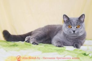 Британская кошка голубого окраса