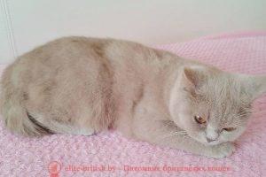 Британская лиловая кошка Yamina Loving Soul