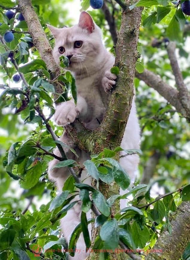 """купить британского котенка, купить британца, британские кошки дымчатые, дымчатые британцы, британский дымчатый кот, британская кошка дымчатого окраса, британец дымчатый фото, британцы окраса вискас, британцы вискас фото, котенок британец вискас, британец вискасного окраса, британская кошка вискас, окрас вискас британских кошек, британская кошка фото вискас, британская кошка окрас вискас фото, британские котята вискас купить, британские котята цвета вискас, вислоухий британец вискас, британец окрас вискас фото, британский кот вискас, британский котенок вискас, британские котята окрас вискас купить, британец вискас купить, британец кот вискас, вискасный британец, коты британцы вискас фото, британцы цвета вискас"""""""